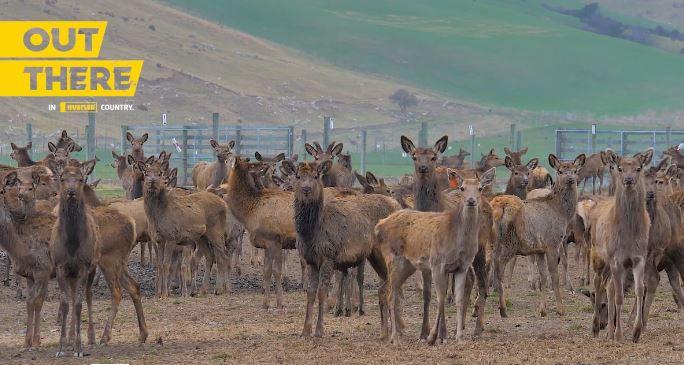 Deer at awakino station