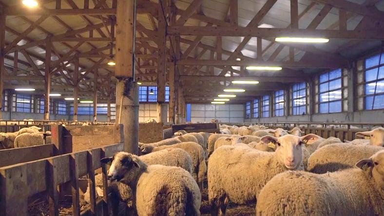 david-barban-hustler-derouleuse-sans-chaine-moutons-bergerie (1)