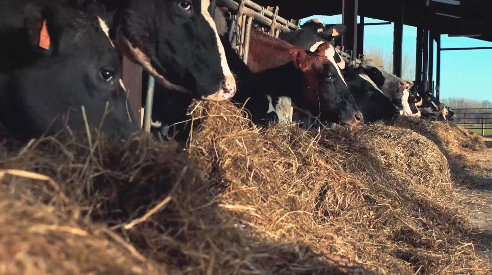 happy-cows-hustler